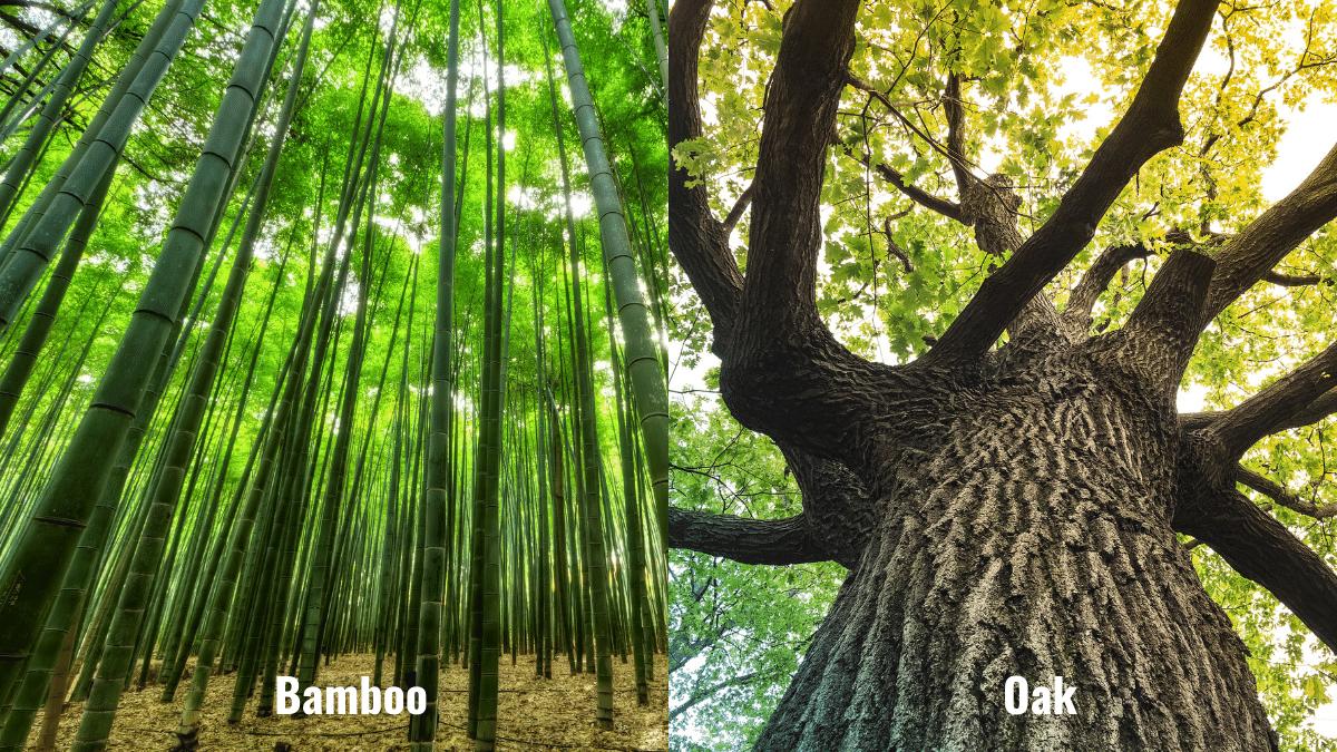 Bamboo versus Oak